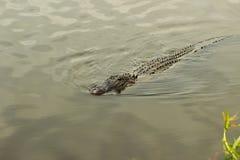 游泳鳄鱼 免版税图库摄影