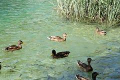 游泳鸭子和鱼在Plitvice湖 库存图片