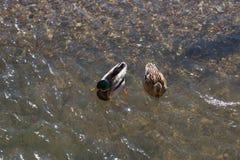 游泳鸭子在冬天阳光河 免版税库存图片