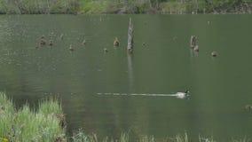 游泳鸭子通过湖 影视素材