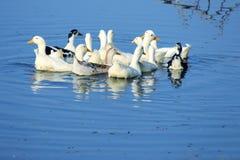 游泳鸭子 免版税库存图片