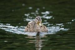 游泳鸭子 免版税库存照片
