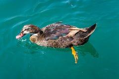 游泳鸭子 图库摄影