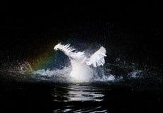 游泳鹈鹕 库存照片