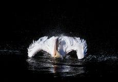 游泳鹈鹕 库存图片