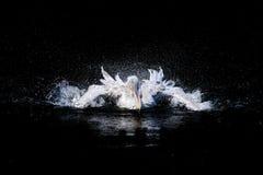 游泳鹈鹕 免版税图库摄影