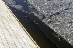 游泳,和走坐莫斯科河的冰的鸭子在11月 免版税库存照片