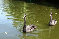 游泳黑天鹅在Sofiyivsky公园 植物园树木园在乌曼,切尔卡瑟州,乌克兰 库存图片