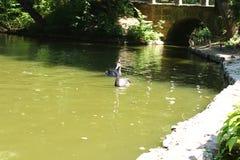 游泳黑天鹅在Sofiyivsky公园 植物园树木园在乌曼,切尔卡瑟州,乌克兰 免版税库存照片