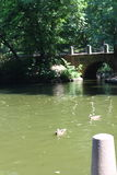 游泳黑天鹅在Sofiyivsky公园 植物园树木园在乌曼,切尔卡瑟州,乌克兰 免版税库存图片