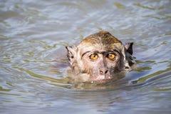 游泳猴子的特写镜头 库存图片