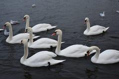 游泳-海德公园,伦敦的美丽的白色天鹅- 2017年12月 库存图片