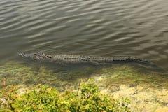游泳Alligator2 免版税库存图片