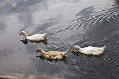 游泳i的三只鸭子 免版税库存照片