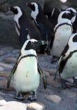 游行企鹅 免版税库存照片
