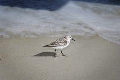 游行在佛罗里达海滩的最少矶鹞 免版税库存图片