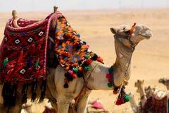游行在它的骆驼是五颜六色的马鞍 库存照片