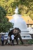 游行大象由在神圣的牙遗物的寺庙的里面一个人哺养果子在康提,斯里兰卡 免版税库存图片