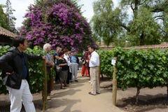 游览在酿酒厂圣丽塔的葡萄园里 库存图片
