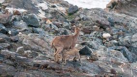 游览,石山羊,动物,野生生物,山,储备,石头 库存照片