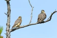 游隼科columbarius 两只猎鹰在W北部的Merlins特写镜头  库存照片