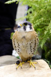游隼科Sparverius是展示在动物市场中 免版税库存照片