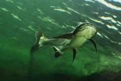 湄公河巨人鲶鱼 库存图片