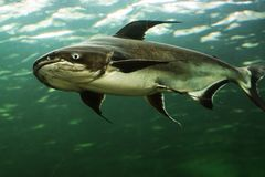 湄公河巨人鲶鱼 库存照片