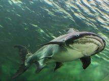 湄公河巨人鲶鱼 免版税库存照片