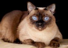 湄公河短尾的猫坐桌 库存照片