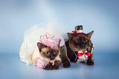 湄公河短尾的猫夫妇在婚礼服装的 免版税库存图片