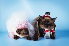 湄公河短尾的猫夫妇在婚礼服装的 图库摄影