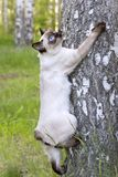 湄公河短尾的短发幼小猫,小猫,封印在桦树的点颜色 免版税库存照片