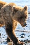 湖克拉克年轻阿拉斯加布朗北美灰熊 免版税图库摄影