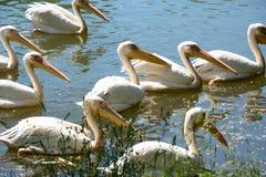 湖公园鹈鹕粉红色 免版税库存图片