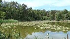 湖名字Trintsee在哈维尔兰县德国 在夏时的风景与芦苇和森林 股票录像
