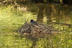 湖和一只雌红松鸡,在巢-正面图 库存图片