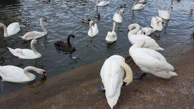 湖和天鹅 免版税图库摄影
