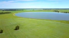 湖和孤立树在开花的荞麦中调遣 股票视频