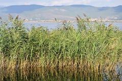 湖和绿色芦苇 库存图片