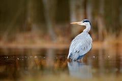 湖在有鸟的森林里 鸟水 灰色苍鹭,灰质的Ardea,鸟开会,绿色沼泽草,森林在背景中 免版税图库摄影