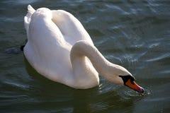 湖夏令时的优美的白色疣鼻天鹅游泳 免版税库存图片