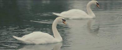 湖天鹅 两只天鹅 库存图片