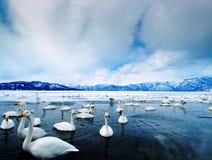 湖天鹅 免版税图库摄影