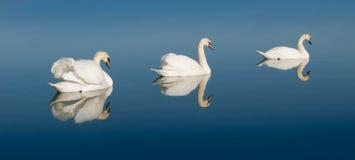 湖天鹅 免版税库存照片