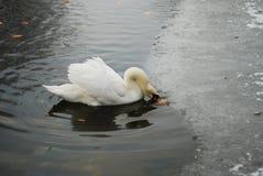 湖天鹅 免版税库存图片