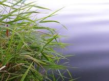 湖岸和一些芦苇 库存图片