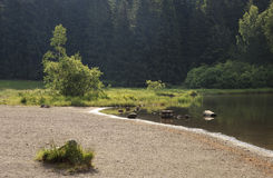 湖岸和森林 库存图片