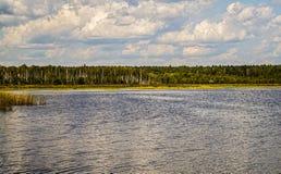 湖岸的桦树树丛  免版税图库摄影