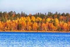 湖岸的秋天金黄森林  免版税库存图片